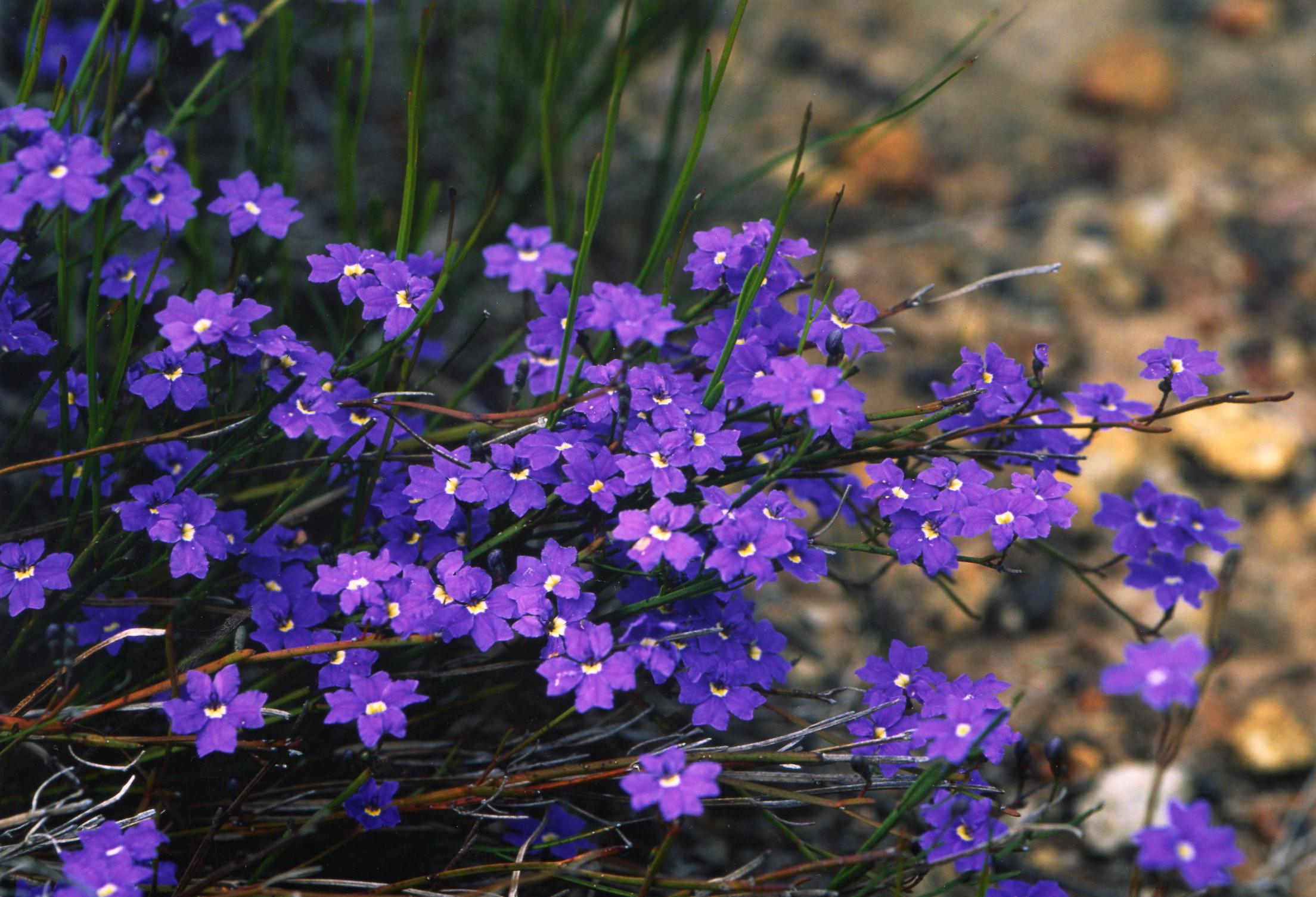 Dampiera sacculata