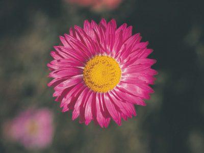 Pink Everlasting Flower Essence
