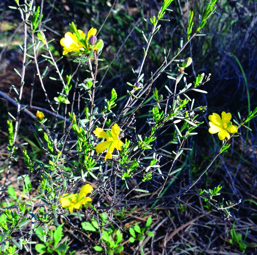 Perforate St John's-wort Plant