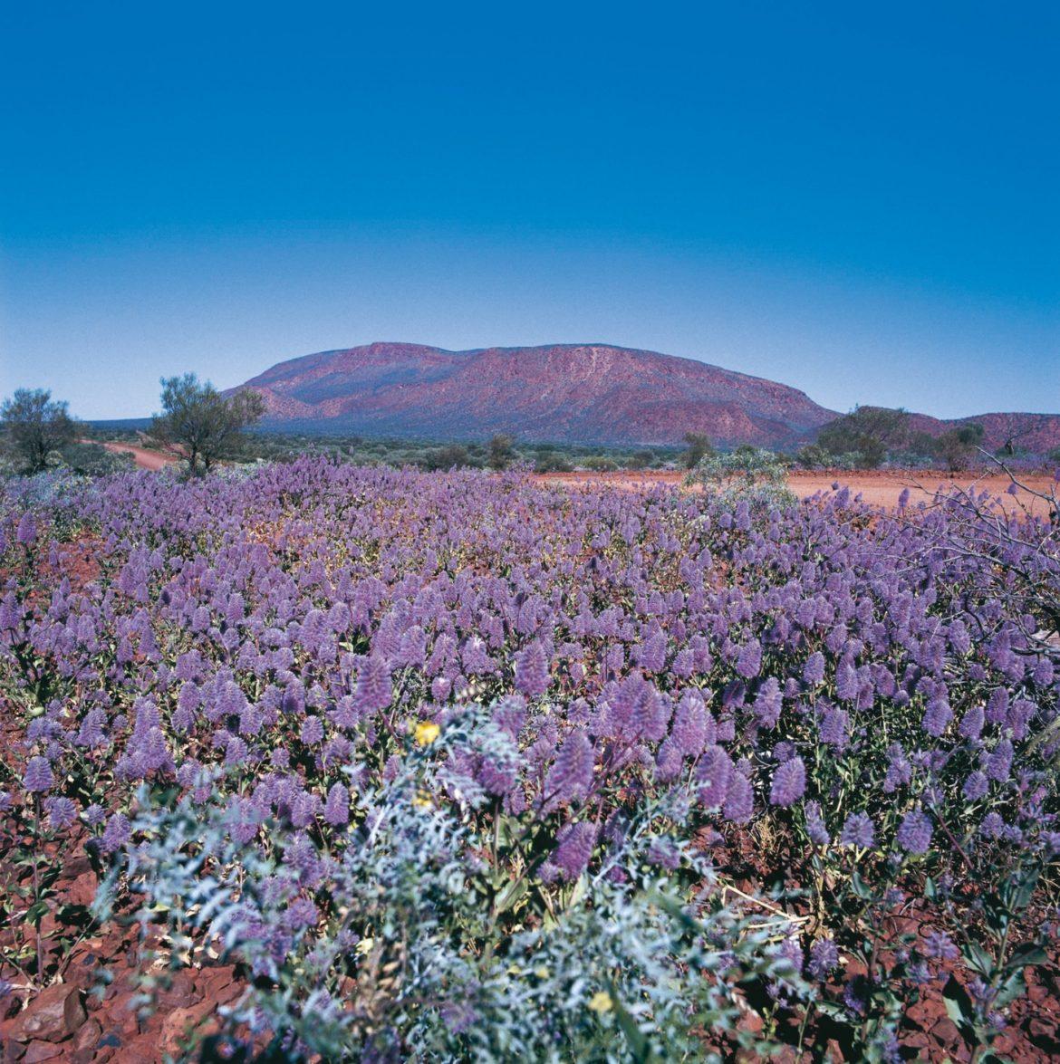 Wildflowers near Karijini National Park