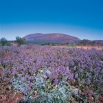 Wildflowers near Karijini National Park