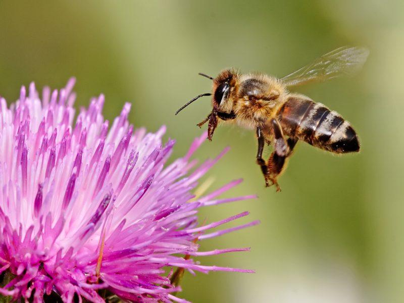 Honeybee landing Milkthistle
