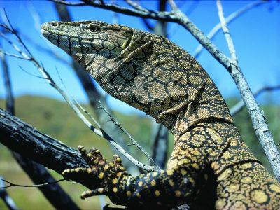Karijini Lizard