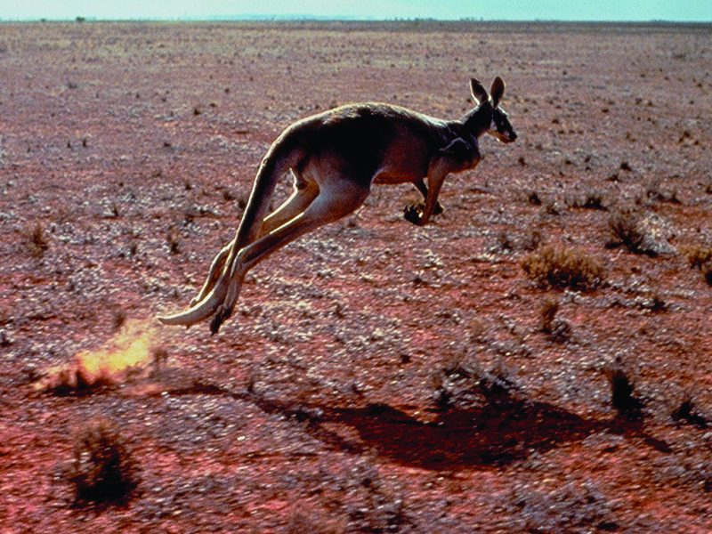 Australian Wild Life - Kangaroo
