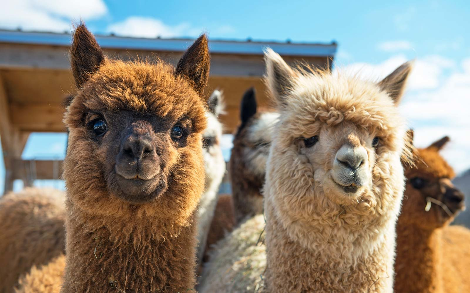 Alpacas in the Gardens of Jalbrook Estate Tour