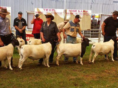 The Mighty Merino Sheep