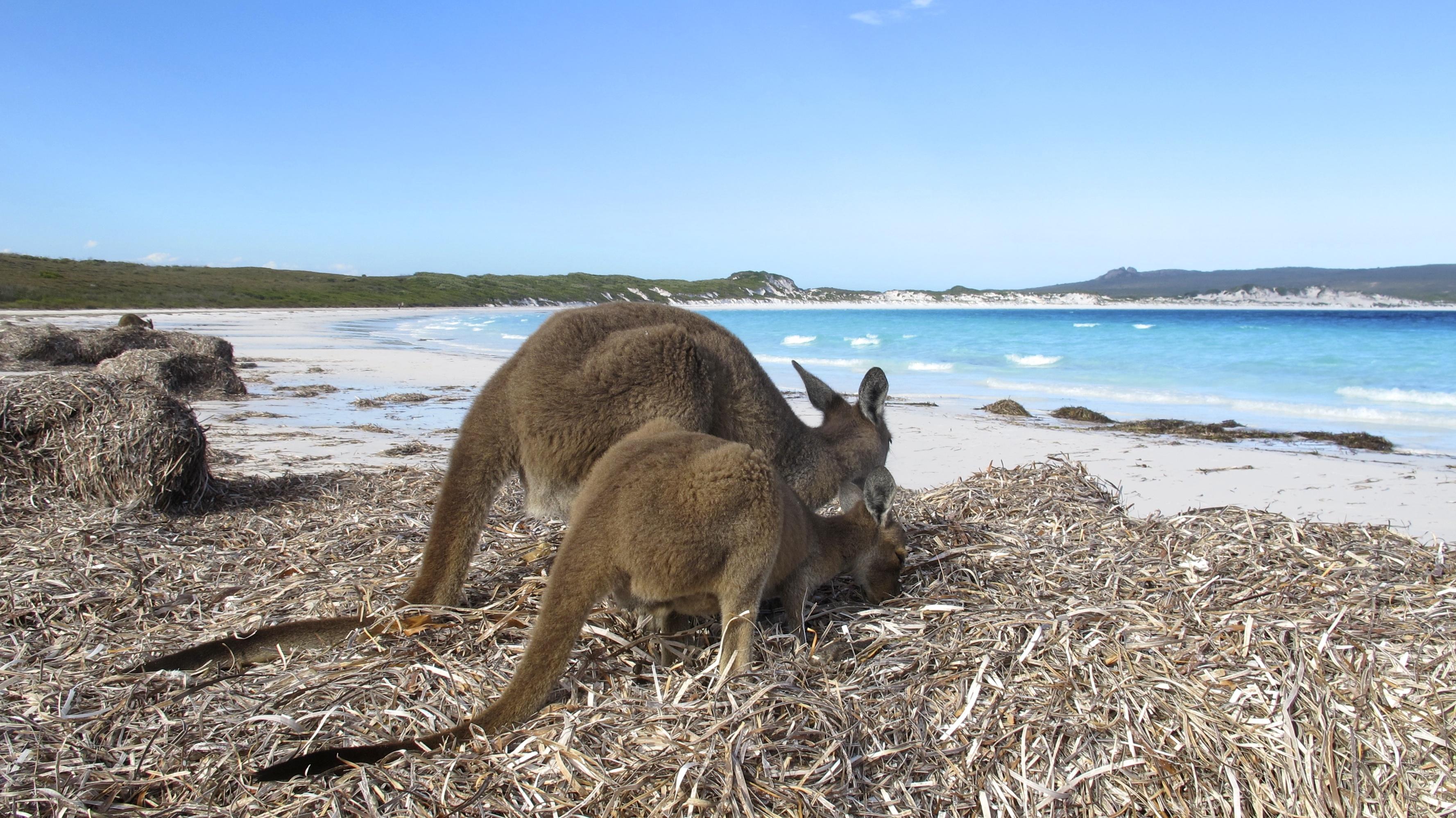 Kangaroo Sitting Skipping Outback Australia