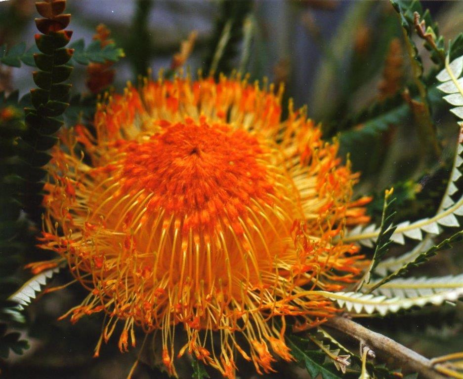 Dryandra formosa showy Dryandra