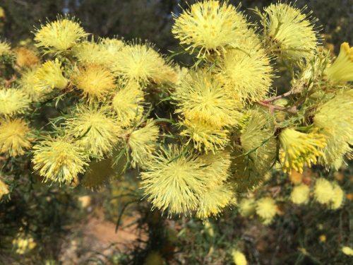 Dryandra squarrosa Pingle