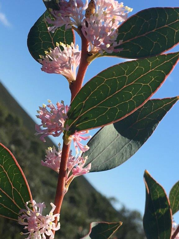 Hakea neurophylla (Endemic to Mt Leseur)