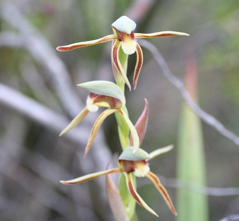 Lyperanthus serratus Rattlebeak orchid
