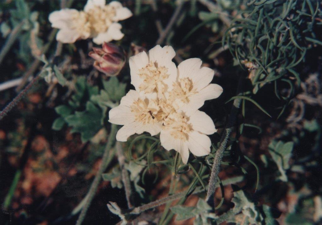 Xanthosia tomentosa Mt Leseur Southern Cross
