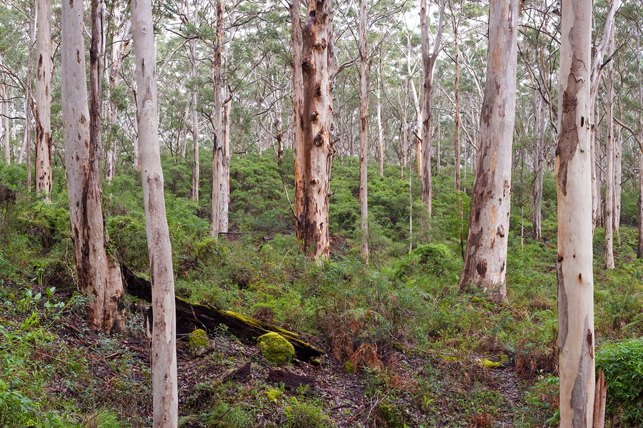 Karri forests of Manjimup