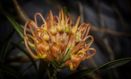 Western Australian Wildflower