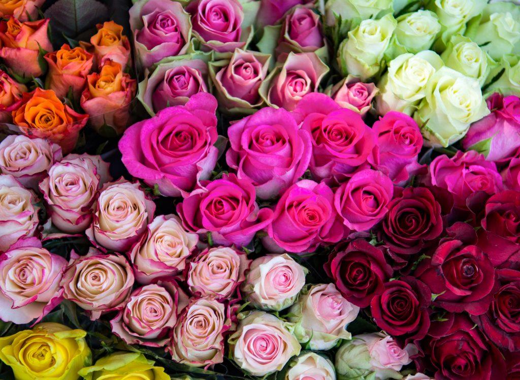 Beverley Rose Festival